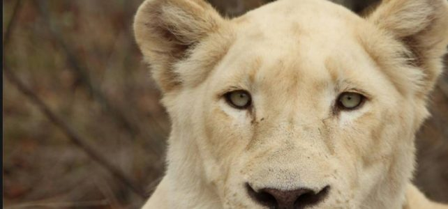 My Journey into White Lion Consciousness and Answering the Call of King of Kings